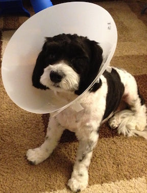 Dog Wearing Cone of Shame