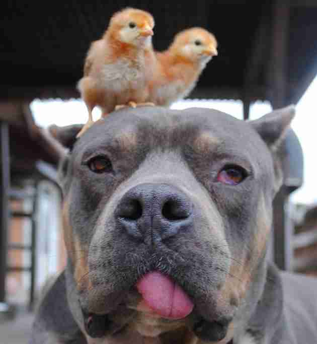 Chick Magnet Dog