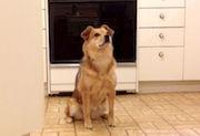 Dog Sitting In Kitchen