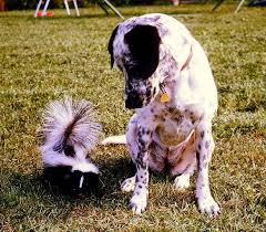 Dog with Skunk