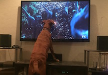 Dog Staring at TV