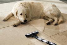 Dog watching Vacuum