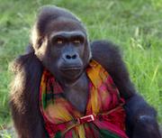 Gorilla in a Dress