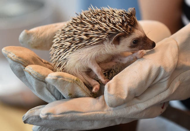 Holding Hedgehog with Glove