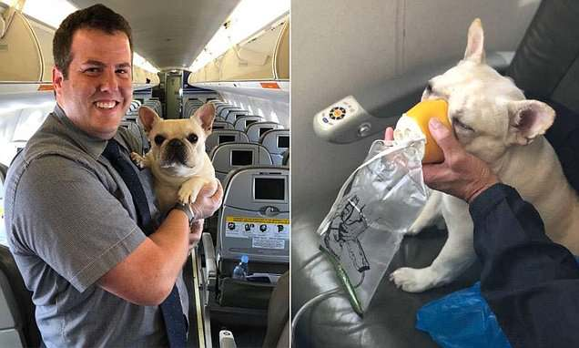 Flight Attendant with French Bulldog