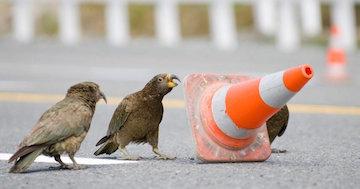 Kea Parrots Moving Traffic Cone