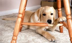 Puppy Chewing on Chair