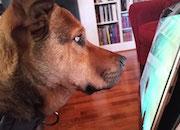 Old Dog Playing on iPad