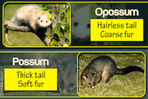 Opossum and Possum