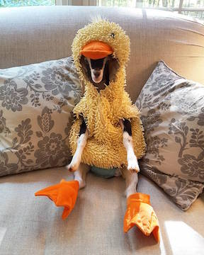 Goat Polly in Duck Costume