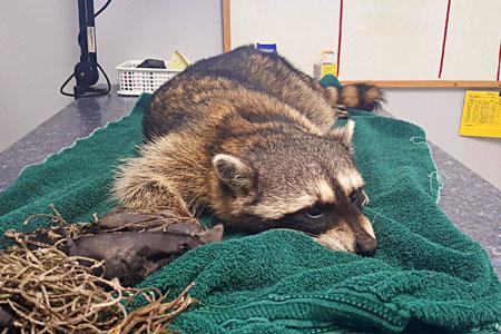 Raccoon Overdoses on Heroin