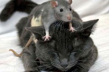 Cat with Rat on Head