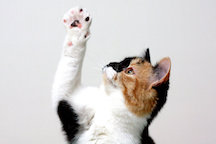 Cat Using Right Paw