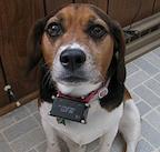 Dog Wearing Shock Collar