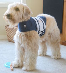 Wheaton Terrier in Thundershirt