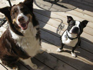 Pet owners more satisfied with bigger dogs