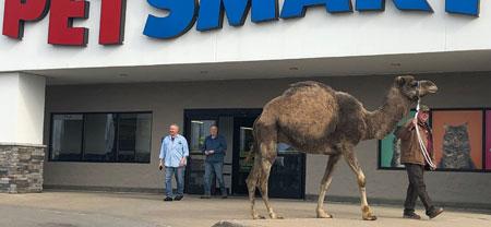 Camel Goes To Petsmart