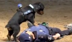 Police Dog Performing CPR