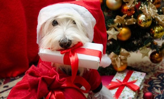Dog With Christmas Present