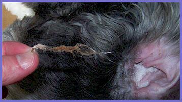 Plucking Dog's Ear Hair