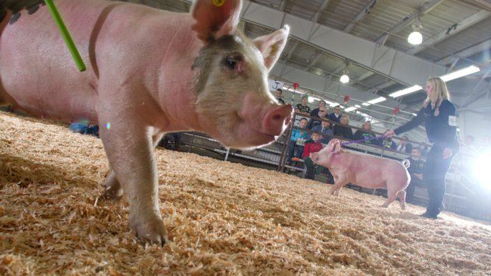 Fair Pigs