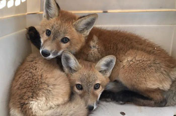 Firefighters mistake kit foxes for dogs