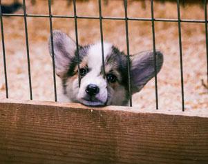 Deborah Howard explains Puppy Laundering Scheme